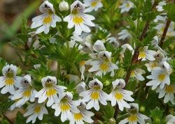 Очанкаа (Euphrasia officinalis) - стрък