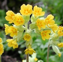 Иглика (Primula officinalis) - корен