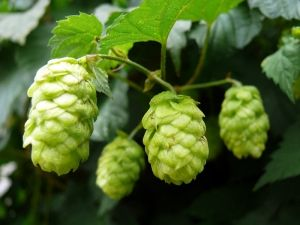 Хмел шишарки (Humulus lupulus L.)