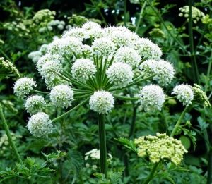 Пищялка (Angelica officinalis)